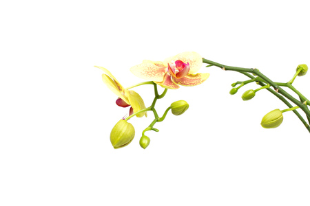 Beautiful branch with buds yellow orchid on a white background, isolate