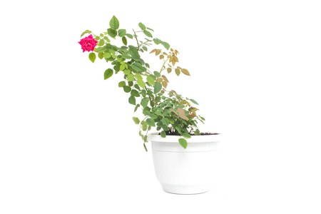 Home flower in a pot young blooming red rose with green petals on a white background, isolate, variegation