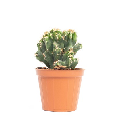 Green small office cactus in a pot on a white background, isolate