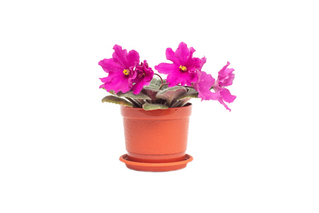 Home flower in a pot young blooming pink violet on a white background, isolate, gardening Banco de Imagens