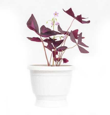 A beautiful flower in a white pot Oxalis, an orange with purple leaves, white background, isolate, gardening
