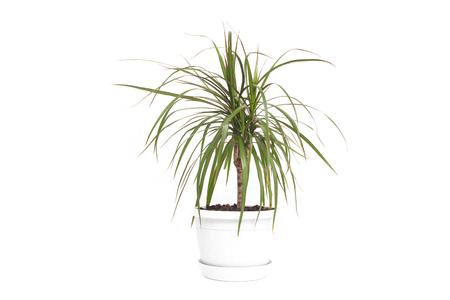 Home flower in white pot Dracaena, white background, isolate, gardening Banco de Imagens