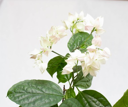 Beautiful homemade flower with green leaves clerodendrum thomsoniae on a white background, isolate, flowerpot Banco de Imagens