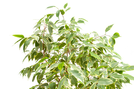 Beautiful homemade flower with green leaves of Benjamin Ficus on a white background, isolate, variegation