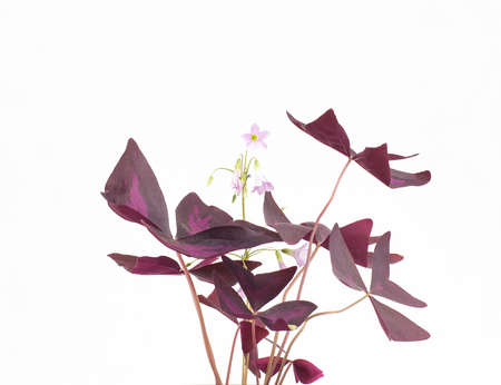 Beautiful oxalis flower, green orange with purple leaves, white background, isolate