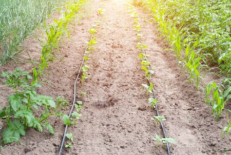 Modern system in agronomy drip irrigation to save water and freshness and nutrition of plants in the garden, dropper dispensers, agriculture Reklamní fotografie