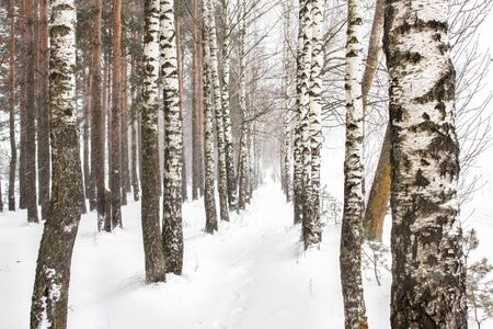 Winter forest, birch grove and snow. Alley among birches, blizzard, background 版權商用圖片