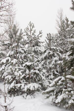 Beautiful winter fir tree on snow background. Frosty weather, beautiful nature, background, wonderful