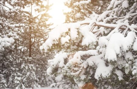 Beautiful winter fir tree on snow background. Frosty weather, beautiful nature, background, wonderful Banque d'images - 135490618