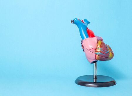 Anatomical model of the organ of the heart on a blue background. The concept of treatment and diseases of myocardial infarction and heart tachycardia