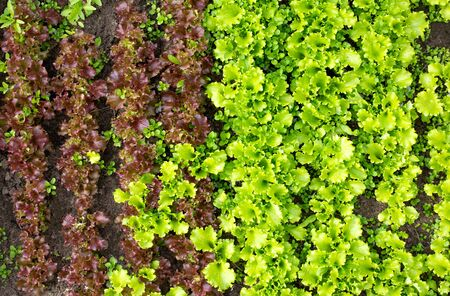 Green leaf lettuce and red lettuce, background, copy space. Freshness