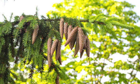 Beautiful large oblong cones on a coniferous taiga tree. Wild nature, healing tree in alternative medicine, background Standard-Bild