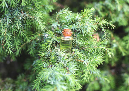 Small bottle with juniper oil on a background of green juniper tree. The concept of the use of juniper oil in medicine and cosmetology, Pygmaea