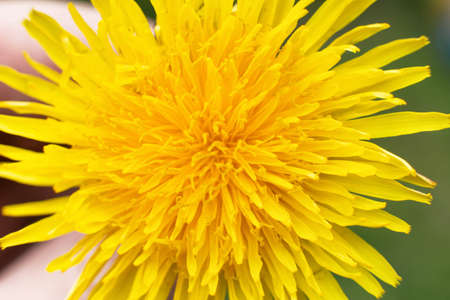 Yellow dandelion closeup background, blooming