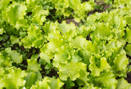 Leafy green lettuce, background copy space
