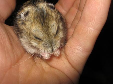 dwarf hamster: Dwarf Hamster on Hand Grooming Stock Photo