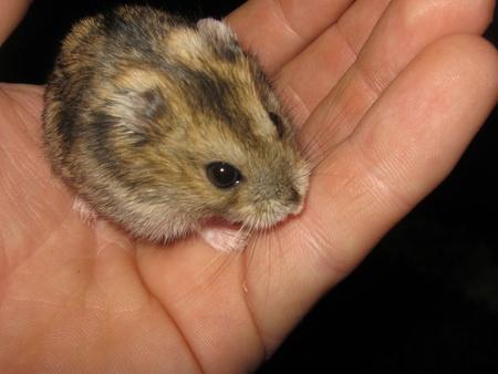 nibbling: Dwarf Hamster Nibbling Hand Stock Photo
