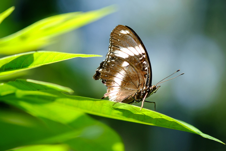 White Admiral butterfly resting on leaf