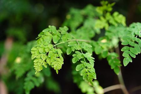 Malunggay or Moringa herb leaves in nature Standard-Bild