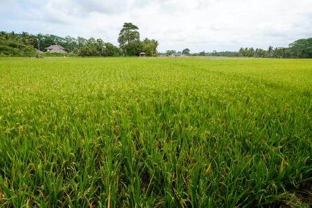 ubud: Rice field in Ubud of Bali - Indonesia Stock Photo