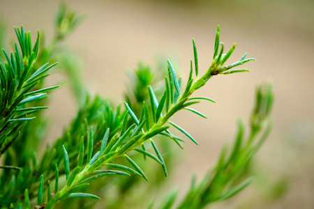 Rosemary plants in the herb garden with selected focus and narrow depth of field