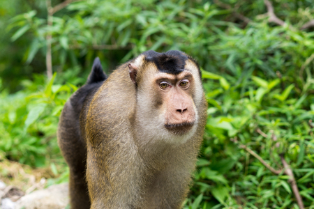 Walking wild southern pig-tailed macaque in Sumatra - Lake Toba area of Indonesia