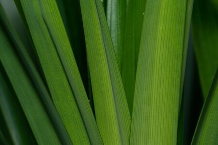 Close up shot of organic Pandan leave Stock fotó