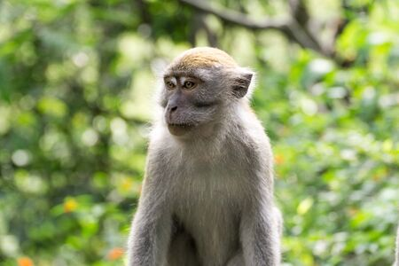 Portrait of wild crab eating macaque also known as long tailed macaque Stock fotó