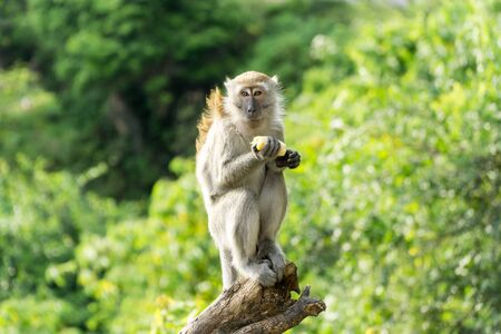 Wild crab eating macaque also known as long tailed macaque