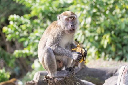 Wild crab eating macaque also known as long tailed macaque eating banana