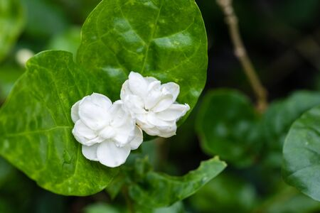 Blooming jasmine flower