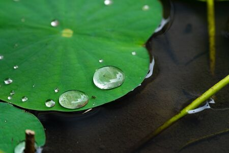 Lotus water lily leaf with water drops