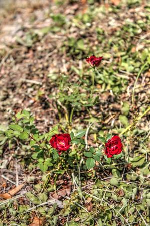 skala: Natural Roses near Mala Skala Stock Photo