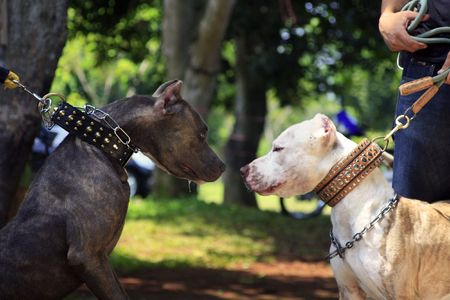 Pit bull Talks. photo