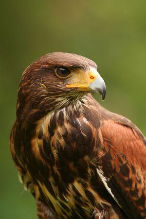 Harris Hawk (Parabuteo unicinctus) Foto de archivo - 3180243