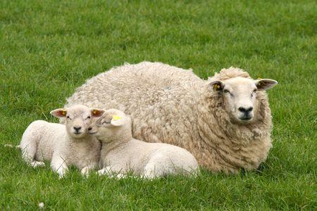 Dos corderos con la madre de ovejas  Foto de archivo - 3185449