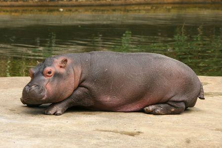 Pequeño hipopótamo  Foto de archivo - 3442219