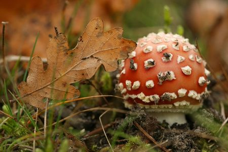 Toadstool with leaf Stock Photo - 3727723