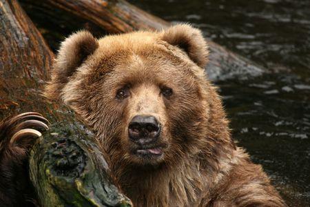 Gran oso pardo miraglo Foto de archivo - 3960736