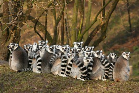 Grioup anillo de lemures de cola Foto de archivo - 4016200