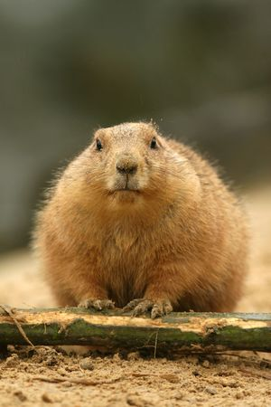 Prairie dog looking at you photo