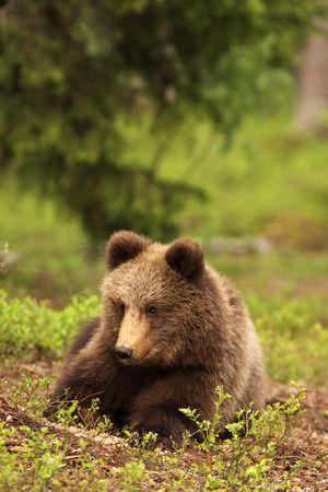 Cachorro de oso de pequeña puesta en la hierba  Foto de archivo - 5891709