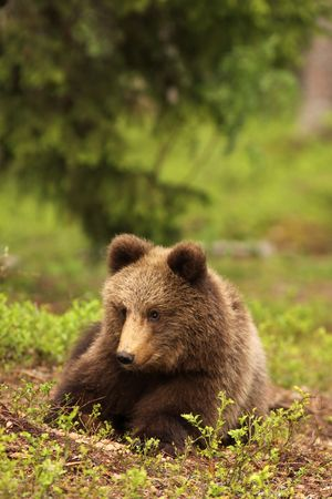 Little bear cub laying in the grass photo