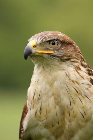 ferruginous: Ferruginous hawk (butea regalis)