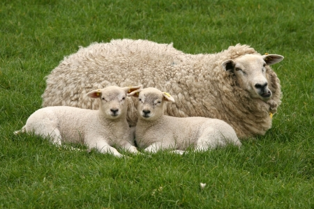 Ovejas madres con dos corderos poco  Foto de archivo - 6405384