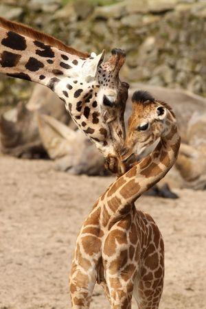 jirafa: Madre jirafa abraz�ndolo su beb�