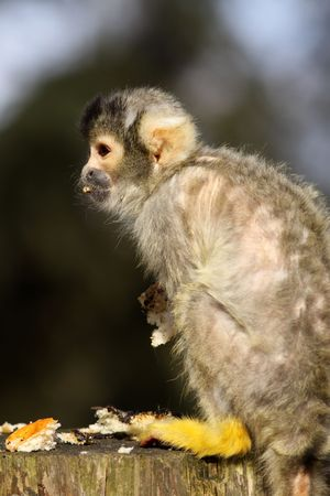capped: Black capped squirrel monkey Stock Photo