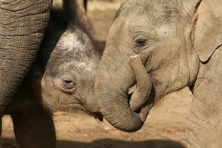 Dos elefantes de bebé jugando  Foto de archivo - 6774825
