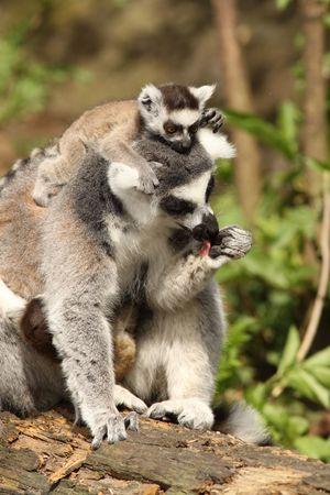 Lemur lemur con un bebé  Foto de archivo - 6928910