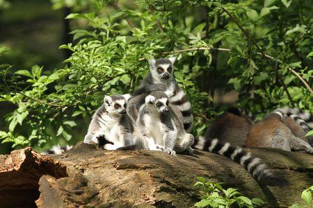 Lemur Lemur sentado en un registro  Foto de archivo - 7078002